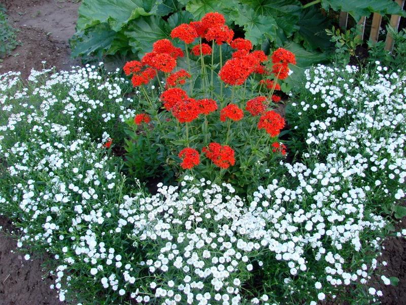 Цветы на даче фото название