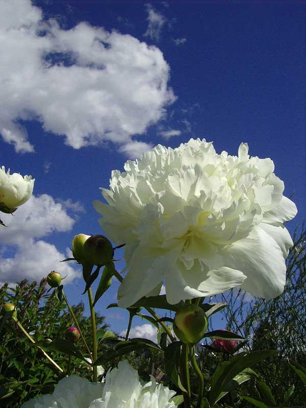 Лилии тигровые и лилии чалмовидные  виды фото и описание