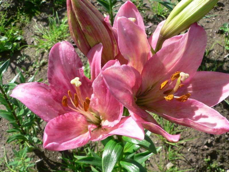 Болезни садовых лилий