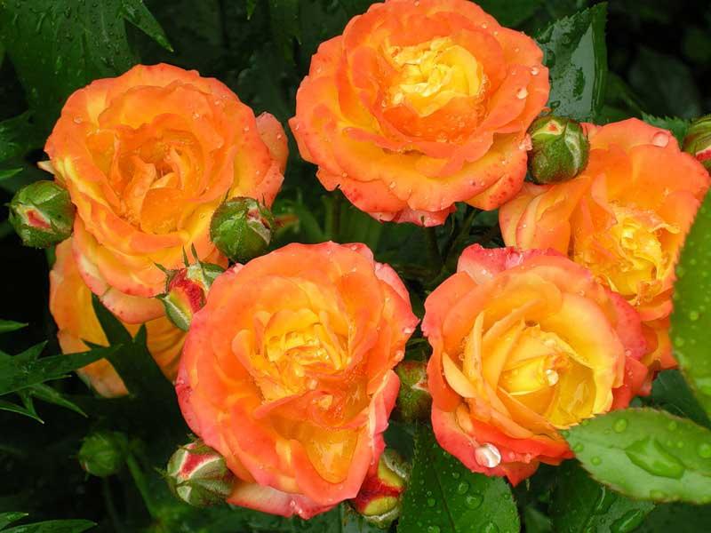 Жёлтые розы с красной каймой