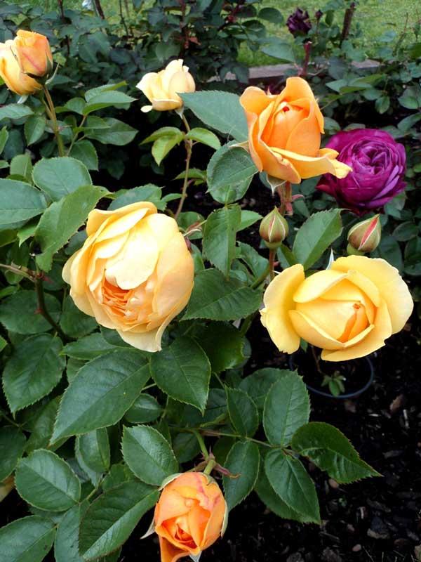 фото укрытие роз