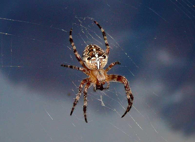 сколько яиц откладывает паук-крестовик это один