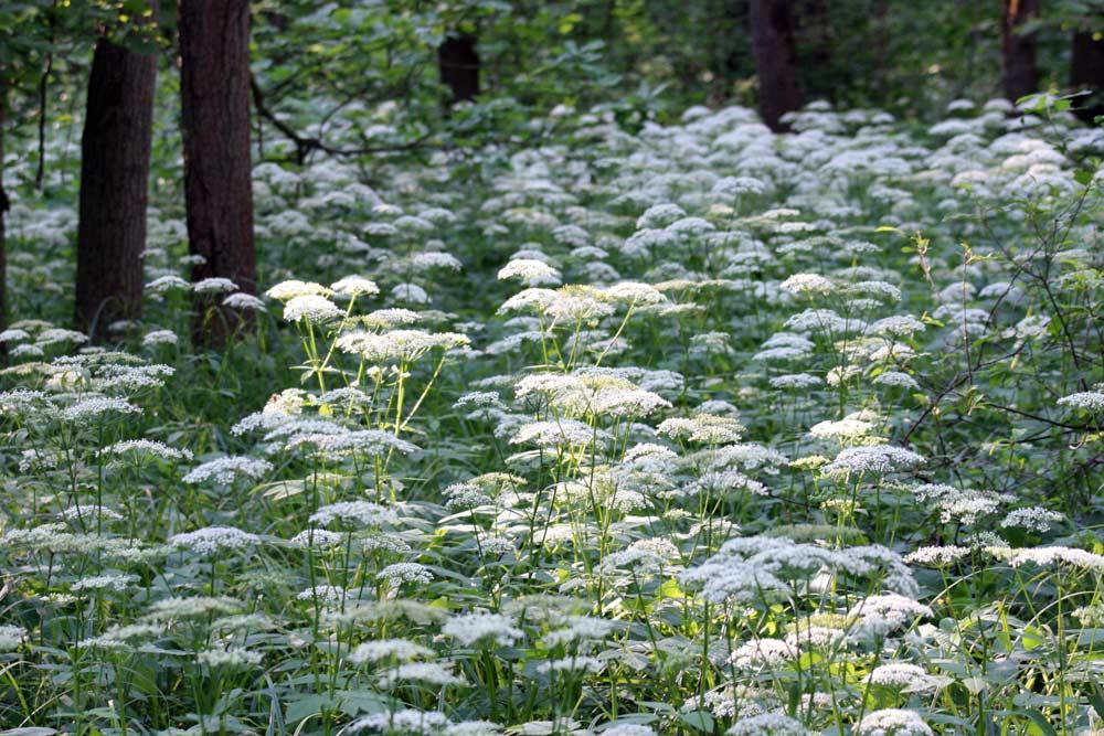 как выглядит трава сныть