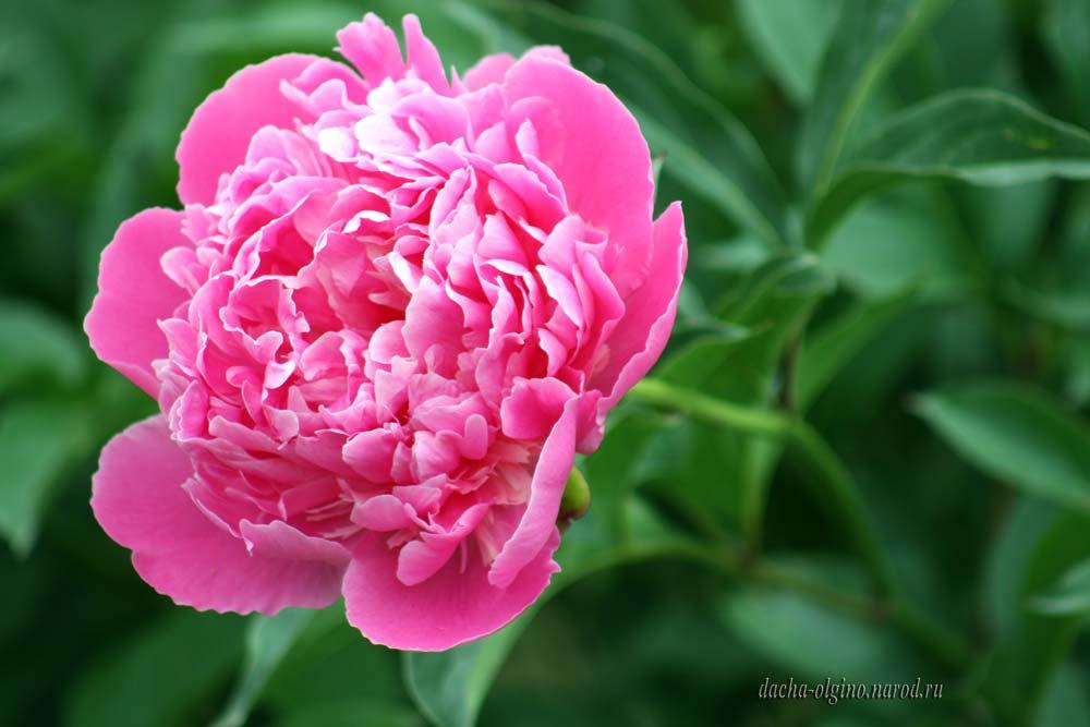 Цветок пиона фото