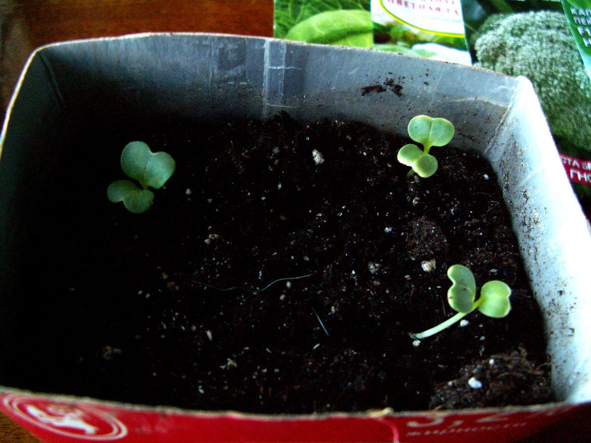 Как вырастить настурцию: выращивание из семян, когда 27