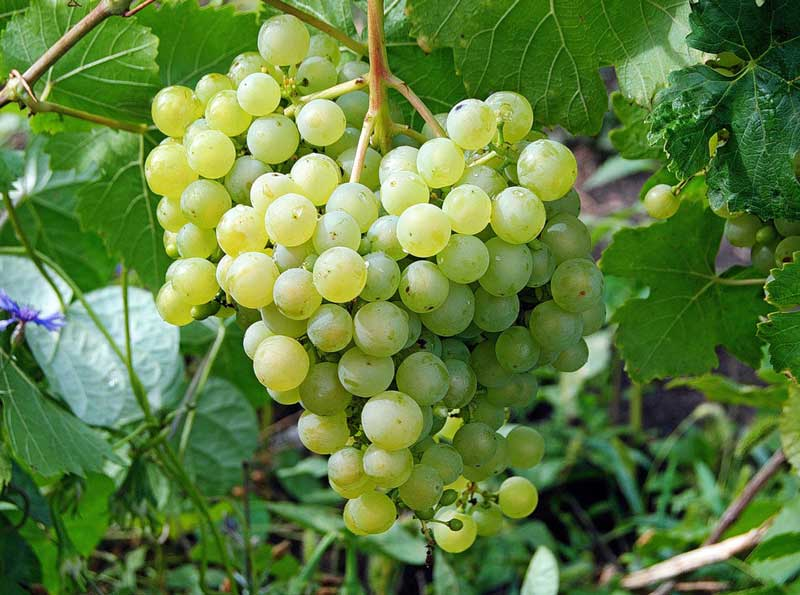 виноград алёшенька описание сорта фото